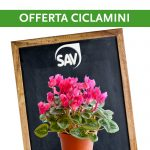 Offerta speciale Ciclamini SAV